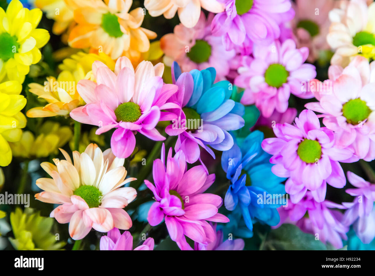 Chrysanthemum Rainbow Flower Stock Photo: 126050040 - Alamy