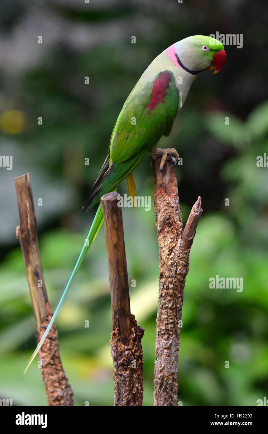 Alexandrine Parrot (Psittacula eupatria) native to India and South East Asia. - Stock Image