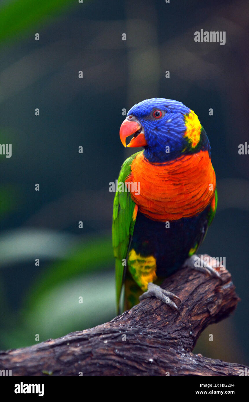 Rainbow Lorikeet (Trichoglossus moluccanus) native bird to Australia sit on a tree branch in rainforest in the tropical - Stock Image