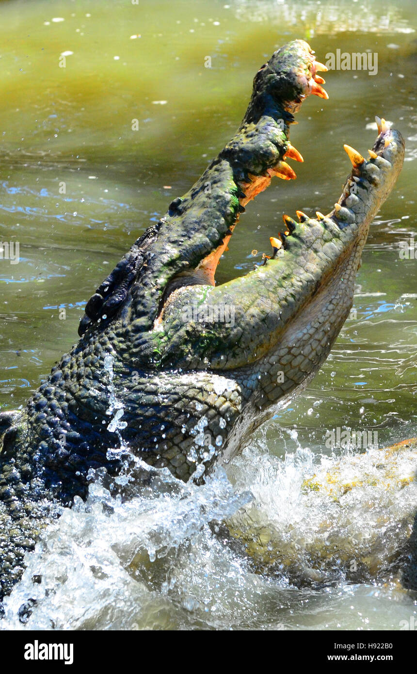 jaws of a Saltwater crocodile leap out of the water in a river in Queensland Australia - Stock Image
