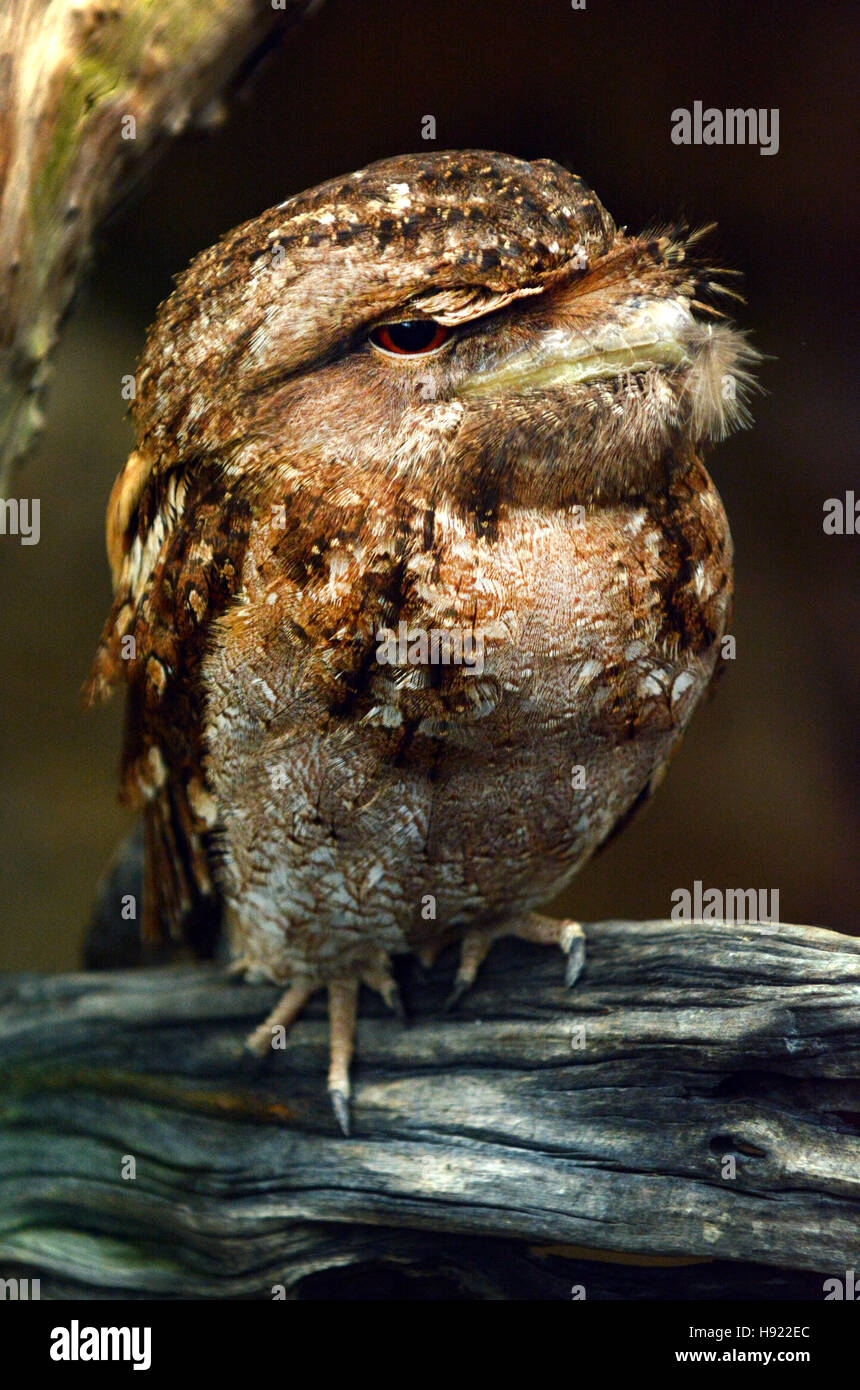 Papuan frogmouth (Podargus papuensis) is a species of bird in the family Podargidae that can be found from the Indian - Stock Image