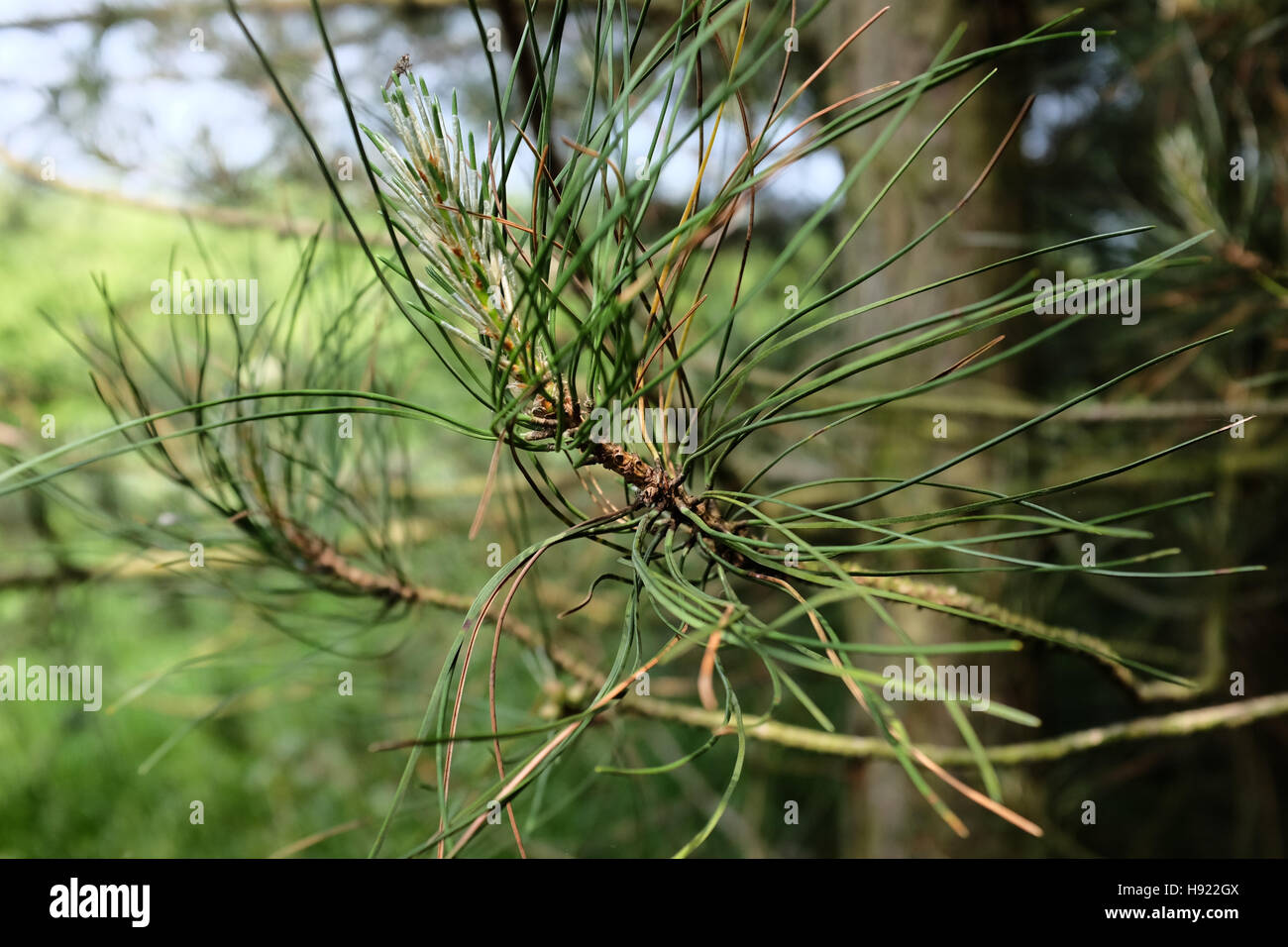 Corsican pine foliage showing symptoms of Dothistroma or red band needle blight - Stock Image