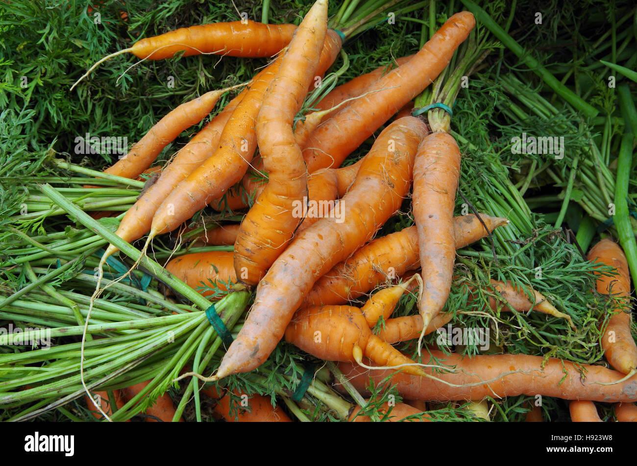 Farm fresh shapely carrots and carrot tops - Stock Image