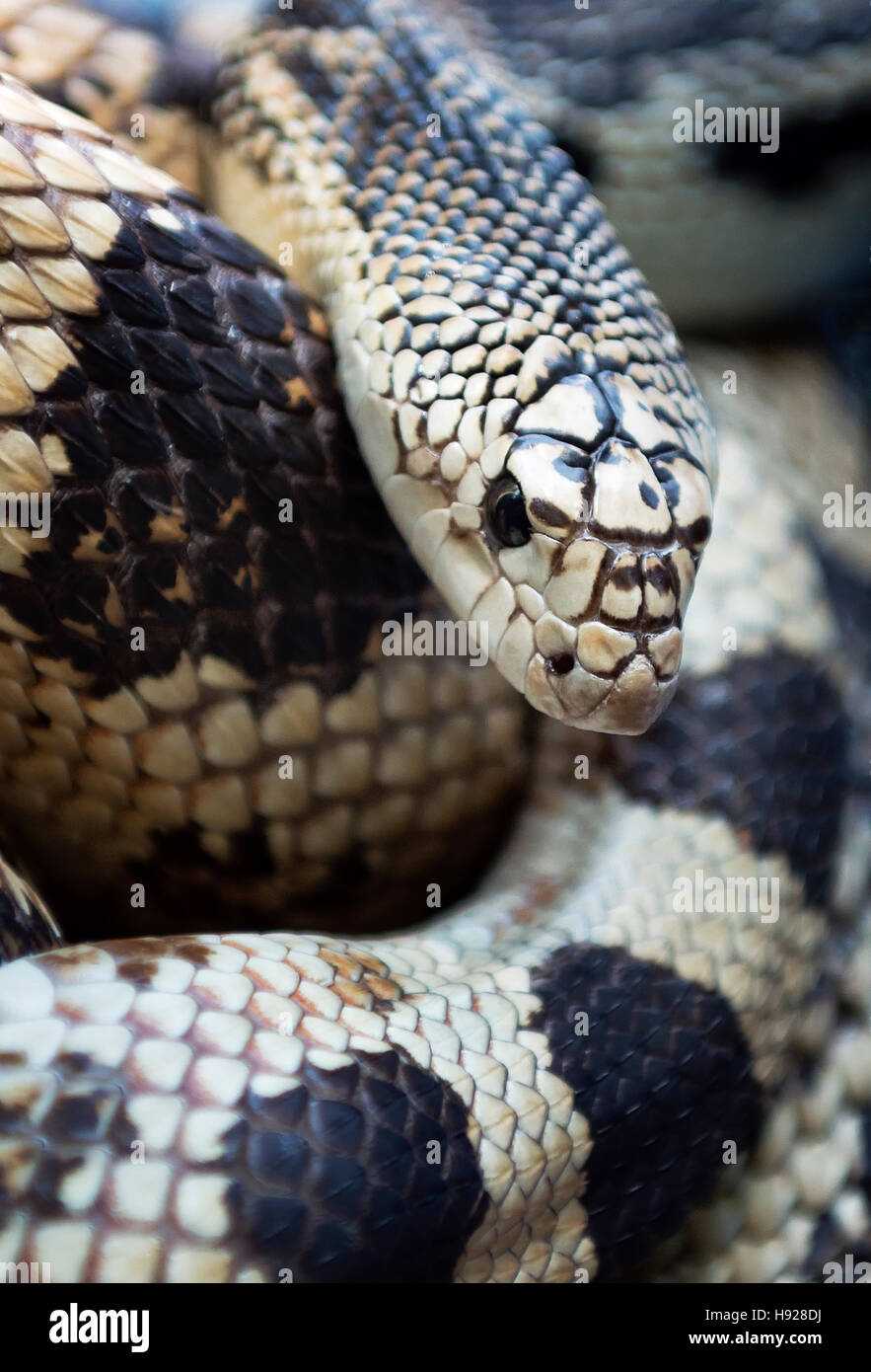Northern Pine Snake. - Stock Image