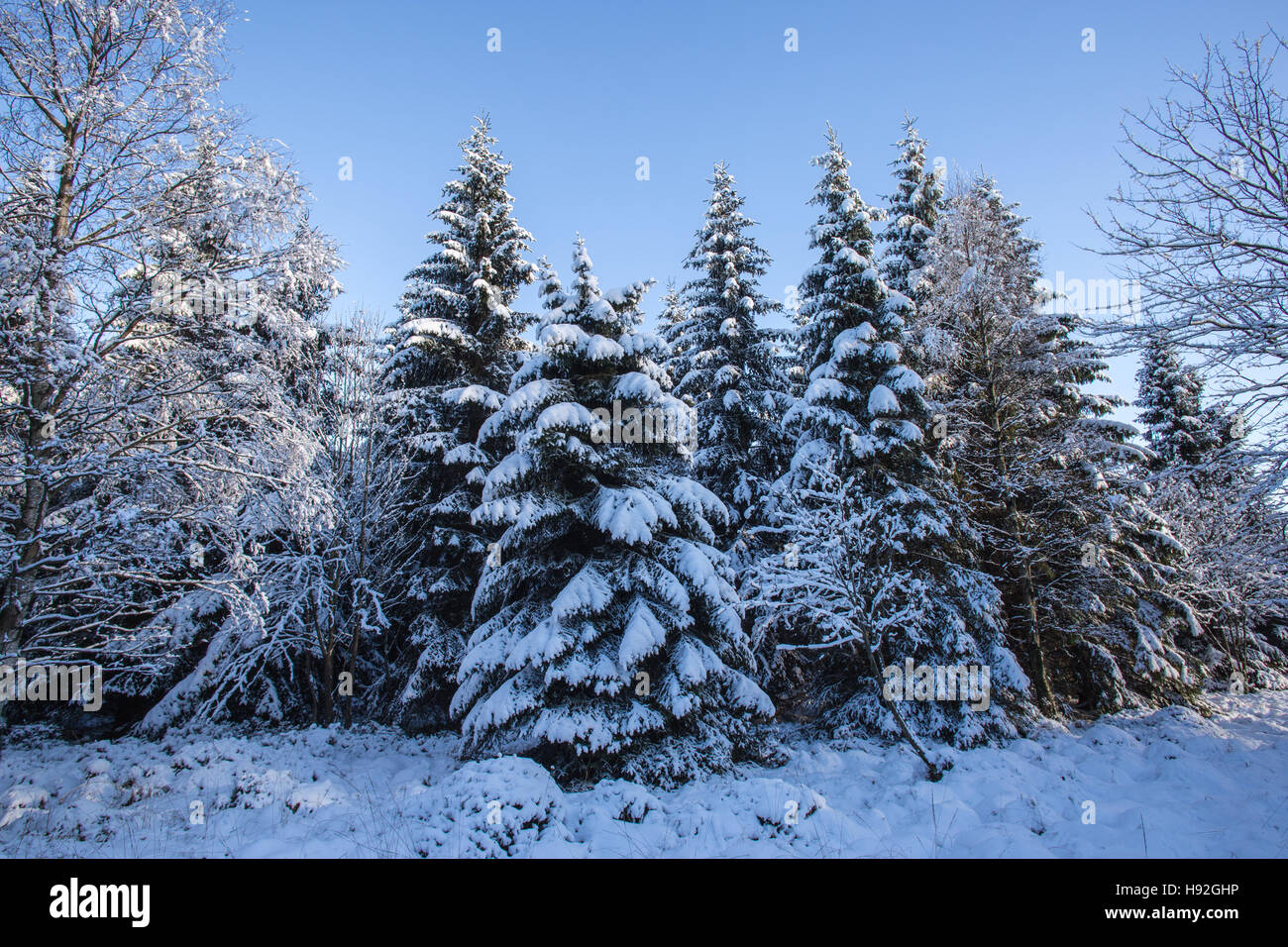 Conifer trees with snow in winter forest - Stock Image