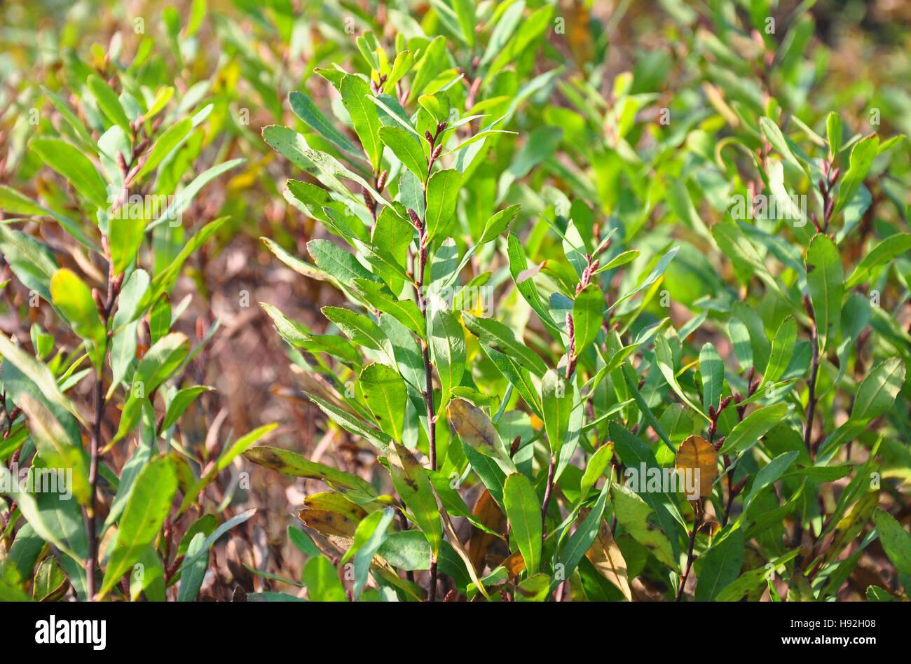 Bog-myrtle (Myrica gale) - Stock Image