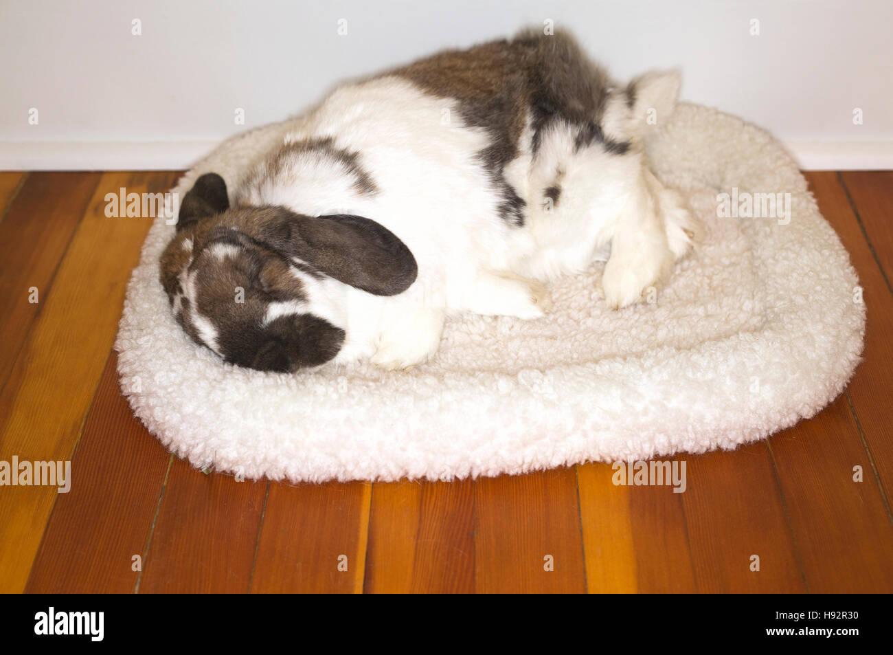 Nine-year old pet Holland Lop dwarf rabbit sleeping on fleece bed inside house - Stock Image