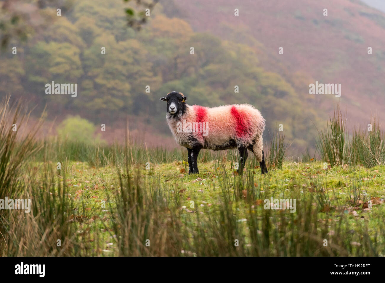 Sheep in the Lake District - Stock Image