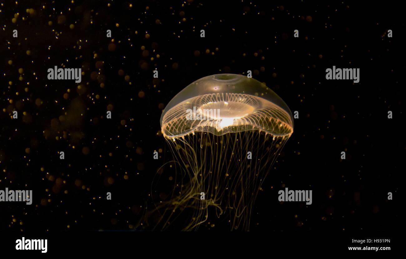 Lone moon jellyfish against dark background - Stock Image