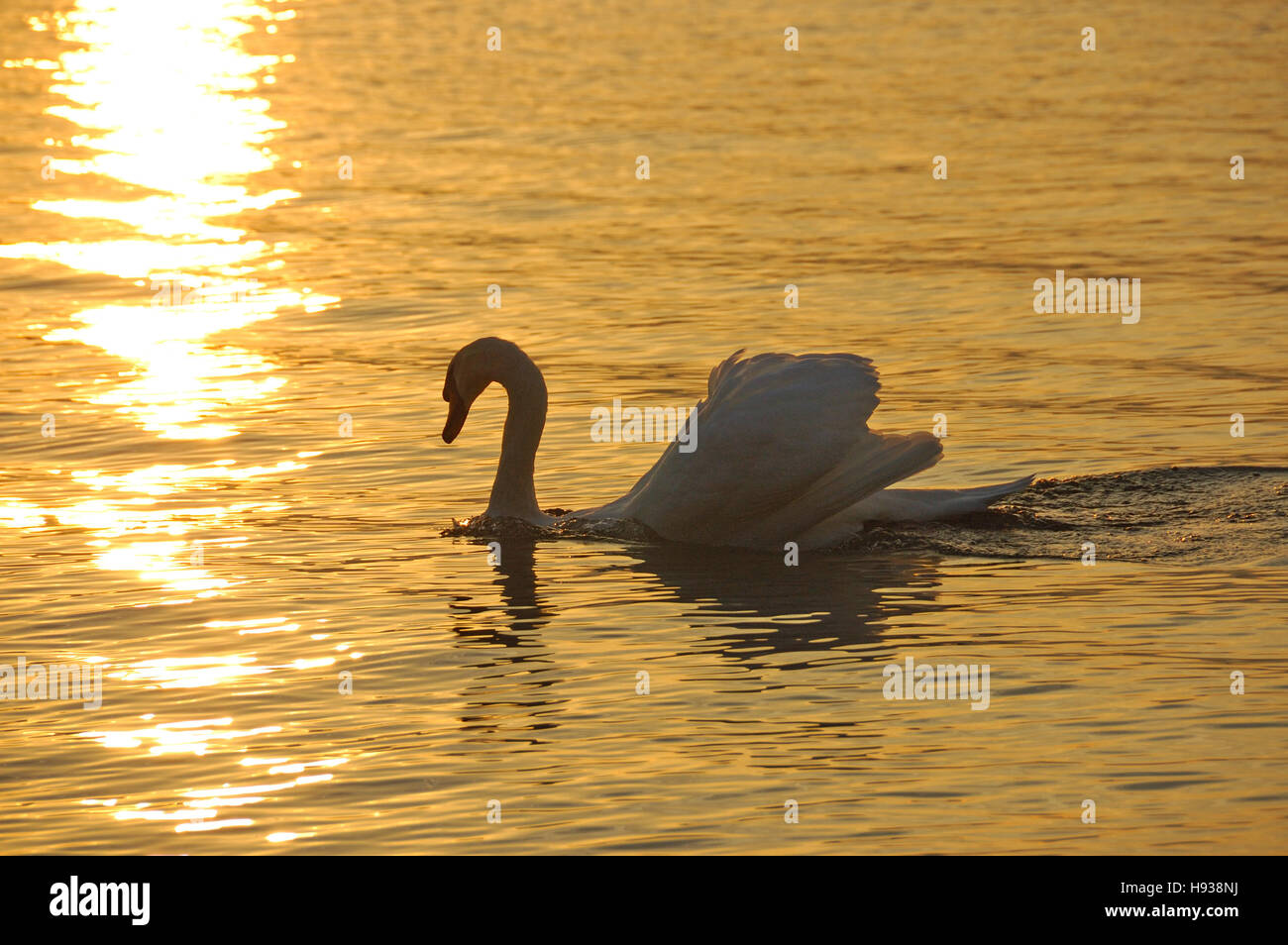 Mute Swan (Cygnus olor)  swimming in a lake as the last rays of the setting sun reflect off the water. - Stock Image