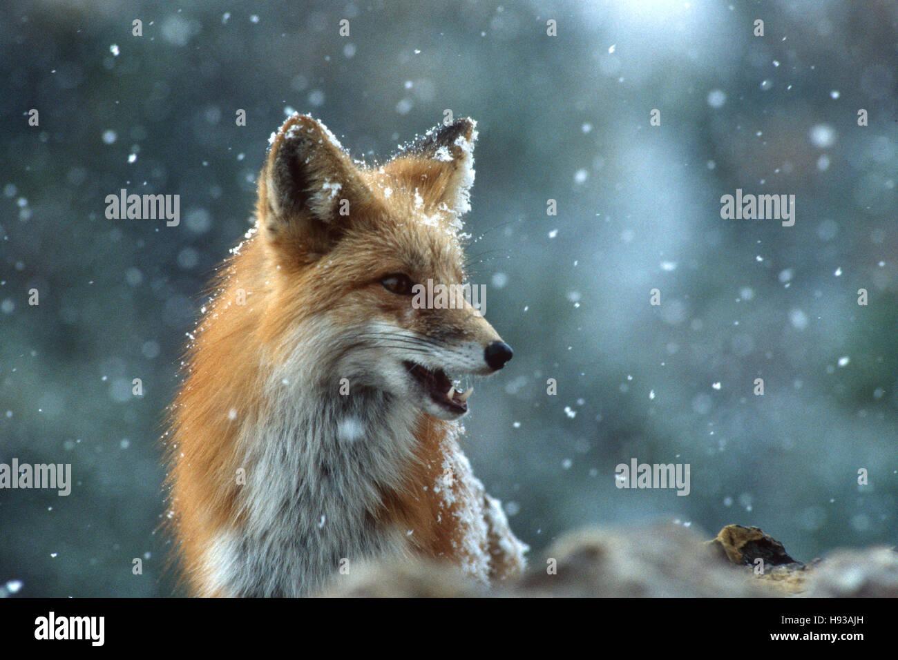 Red fox looks cautious. Near Boulder, Colorado - Stock Image