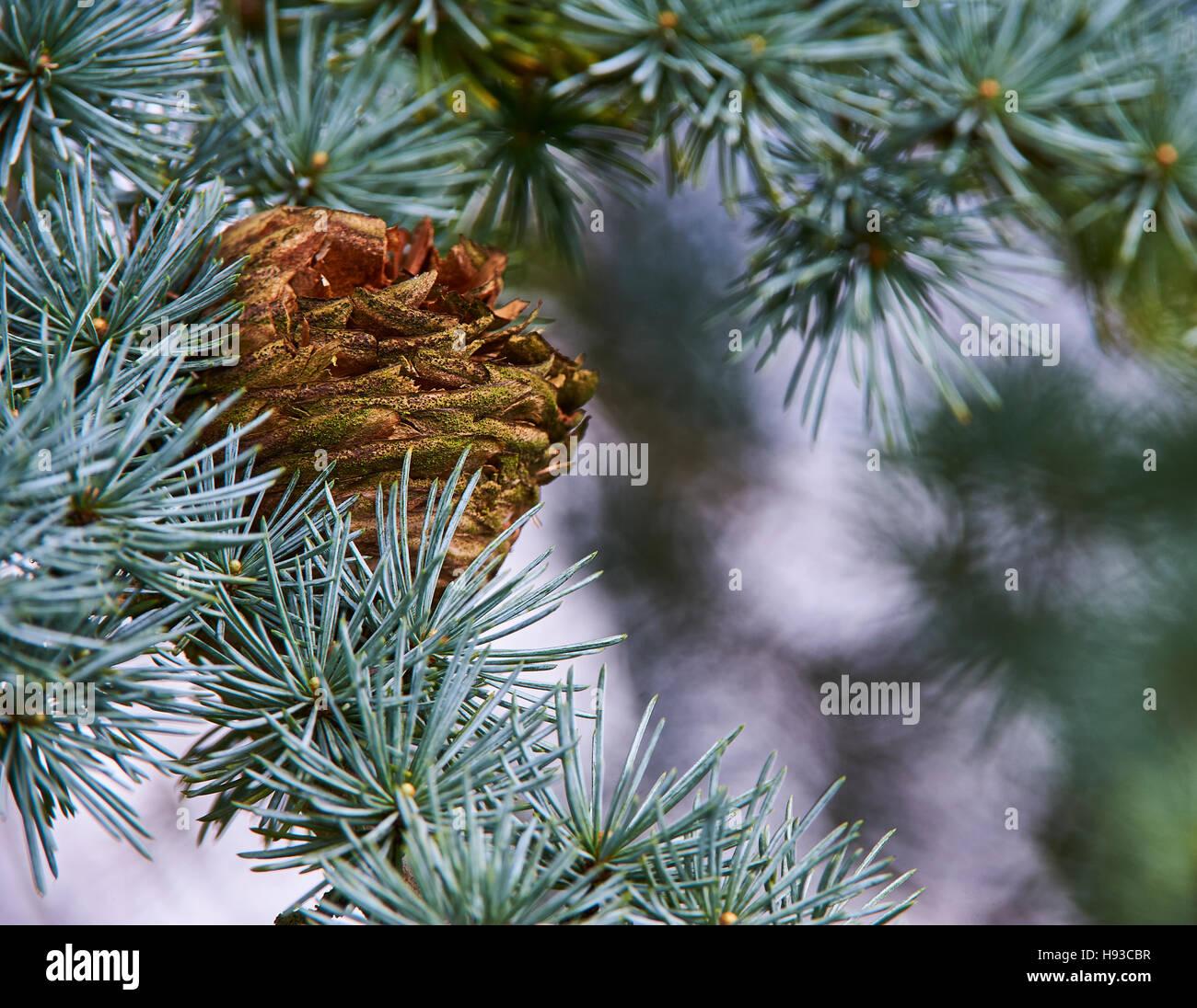 A spent fir cone of an Atlas Cedar - Stock Image