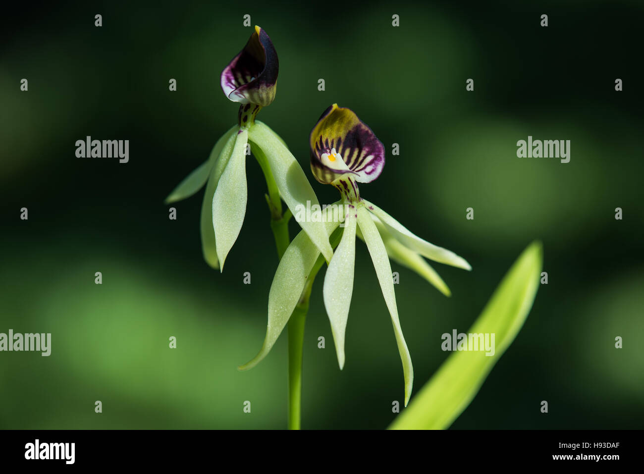 Flowers Of Black Orchids Stock Photo 126080823 Alamy