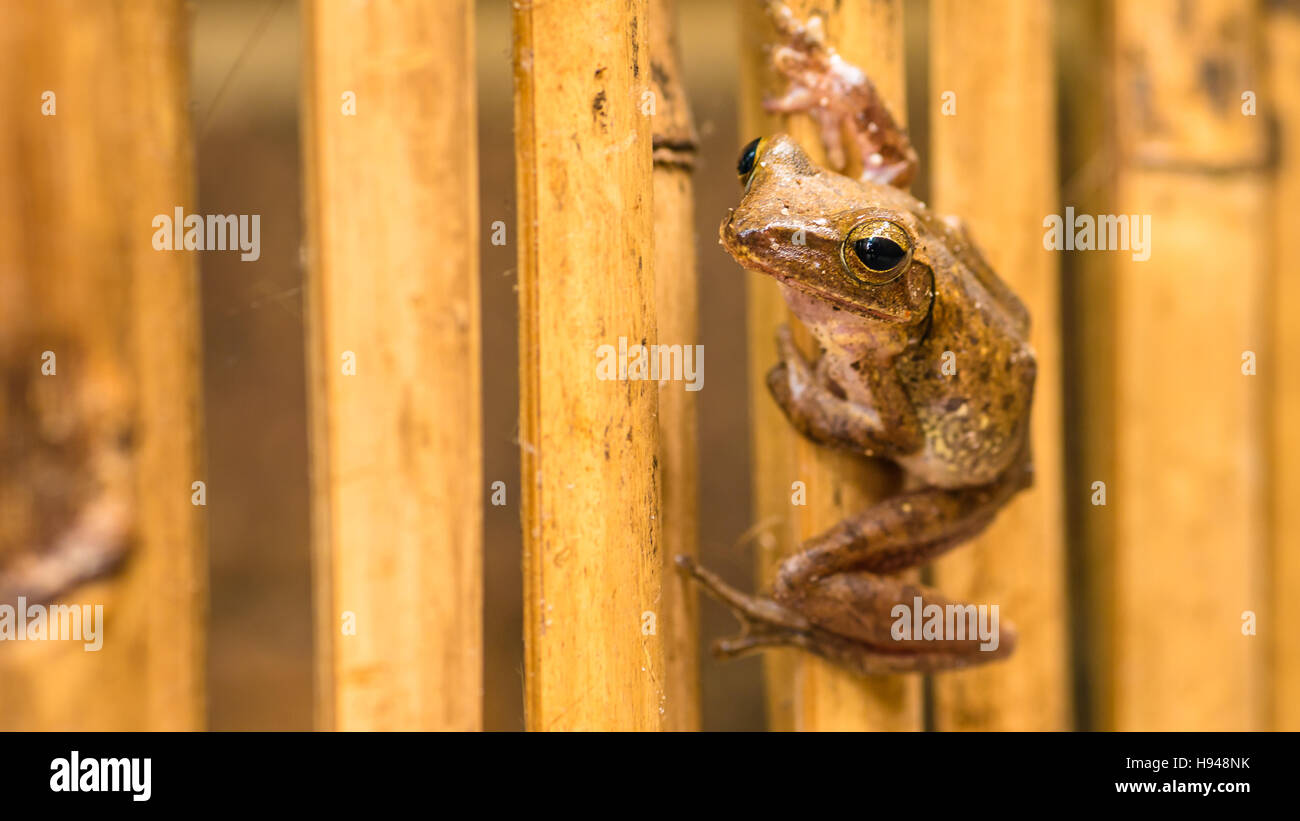 Close up of Beautiful Frog on Dry Bamboo Stick. Front Short Perspective. Koh Tao, Thailand - Stock Image