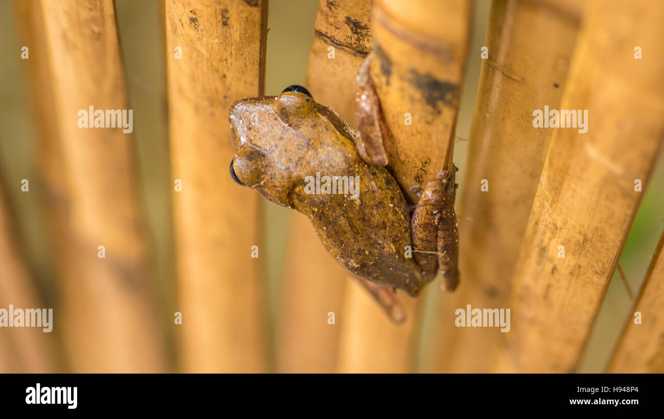 Close up of Beautiful Frog on Dry Bamboo Stick. Top Short Perspective. Koh Tao, Thailand - Stock Image