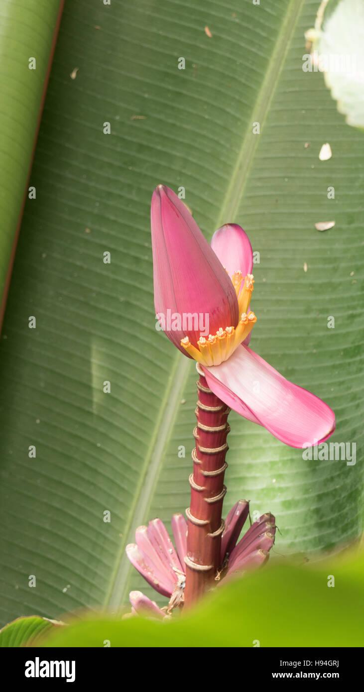 Bloom Pink Banana Blossom Flower Stock Photo 126105494 Alamy