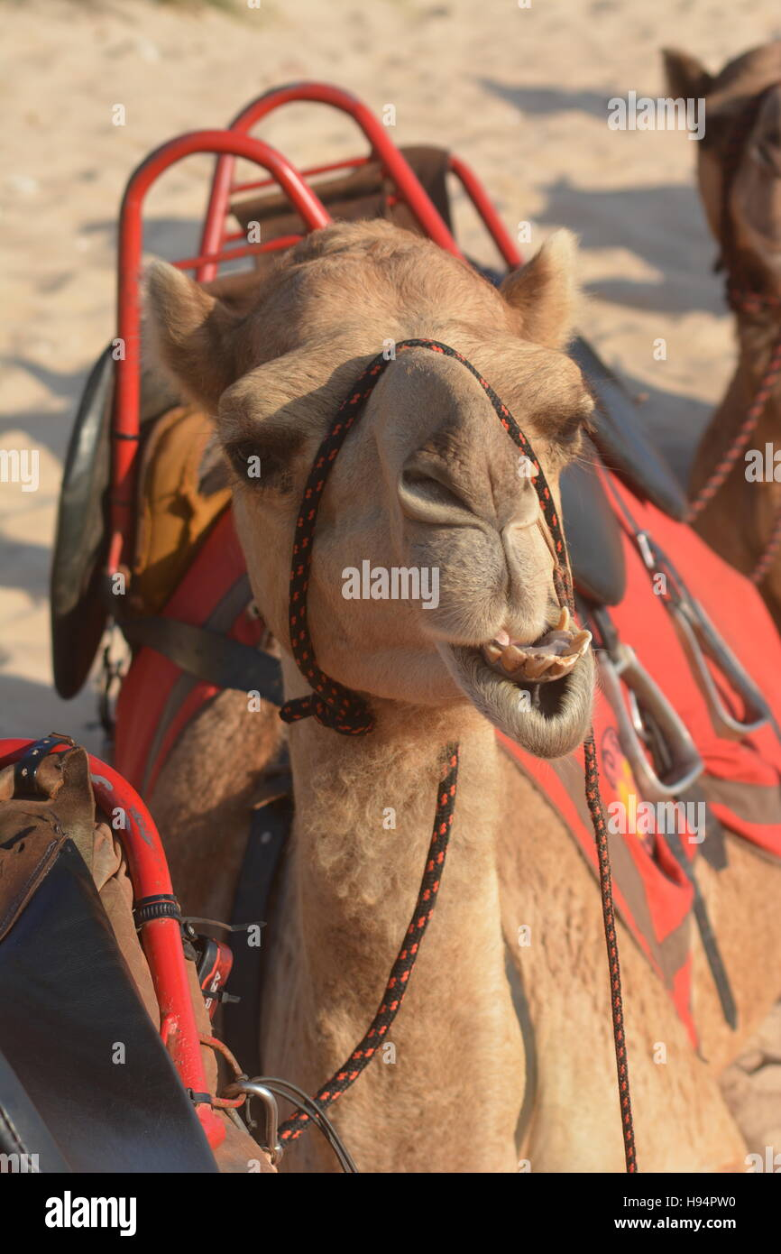 Camel resting on cable beach Western Australia - Stock Image