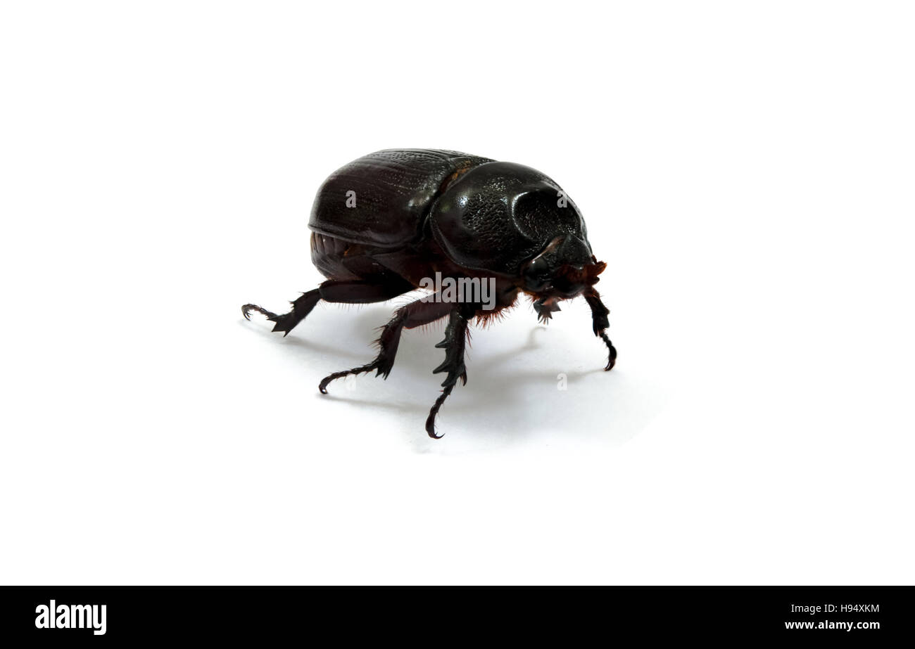 Female rhino beetle on white background. Also known as Hercules beetle, Unicorn beetle, horn beetles. - Stock Image
