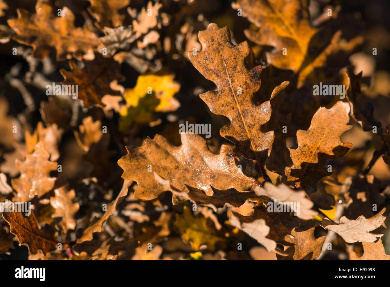 Feuille de Chêne en Automne - Stock Image
