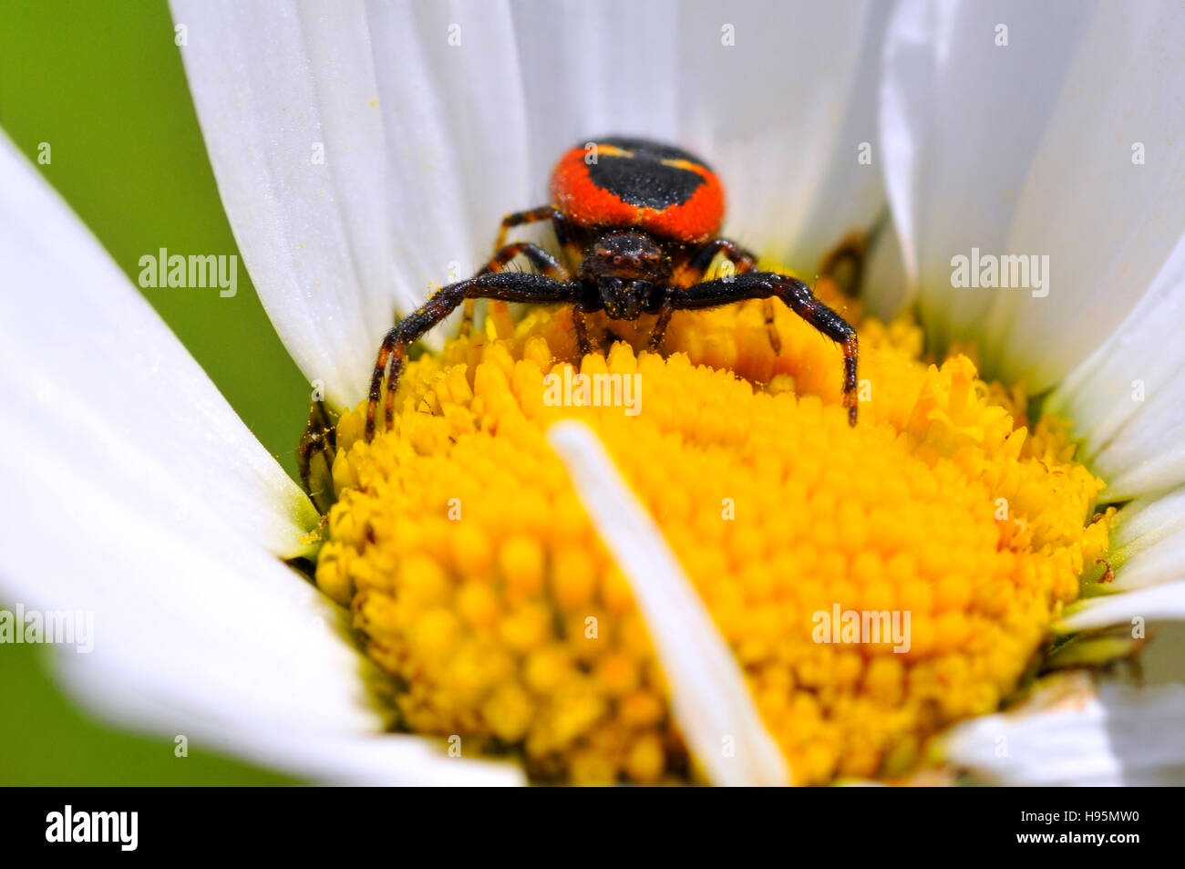 Macro of front black and red crab spider on the yellow heart of a daisy flower - Stock Image