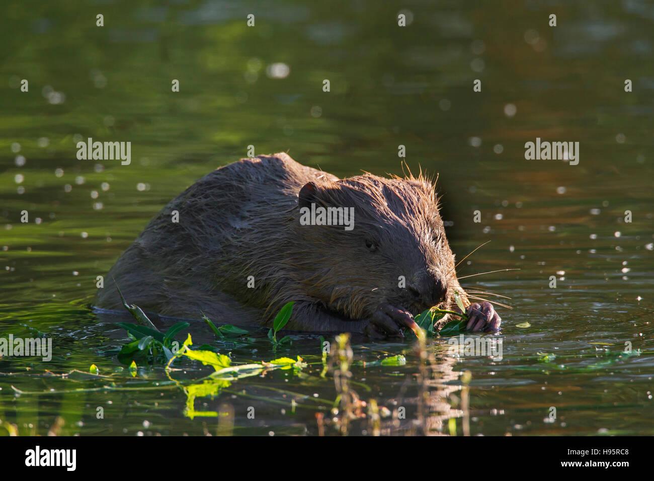 Eurasian beaver / European beaver (Castor fiber) nibbling on willow twig in pond Stock Photo