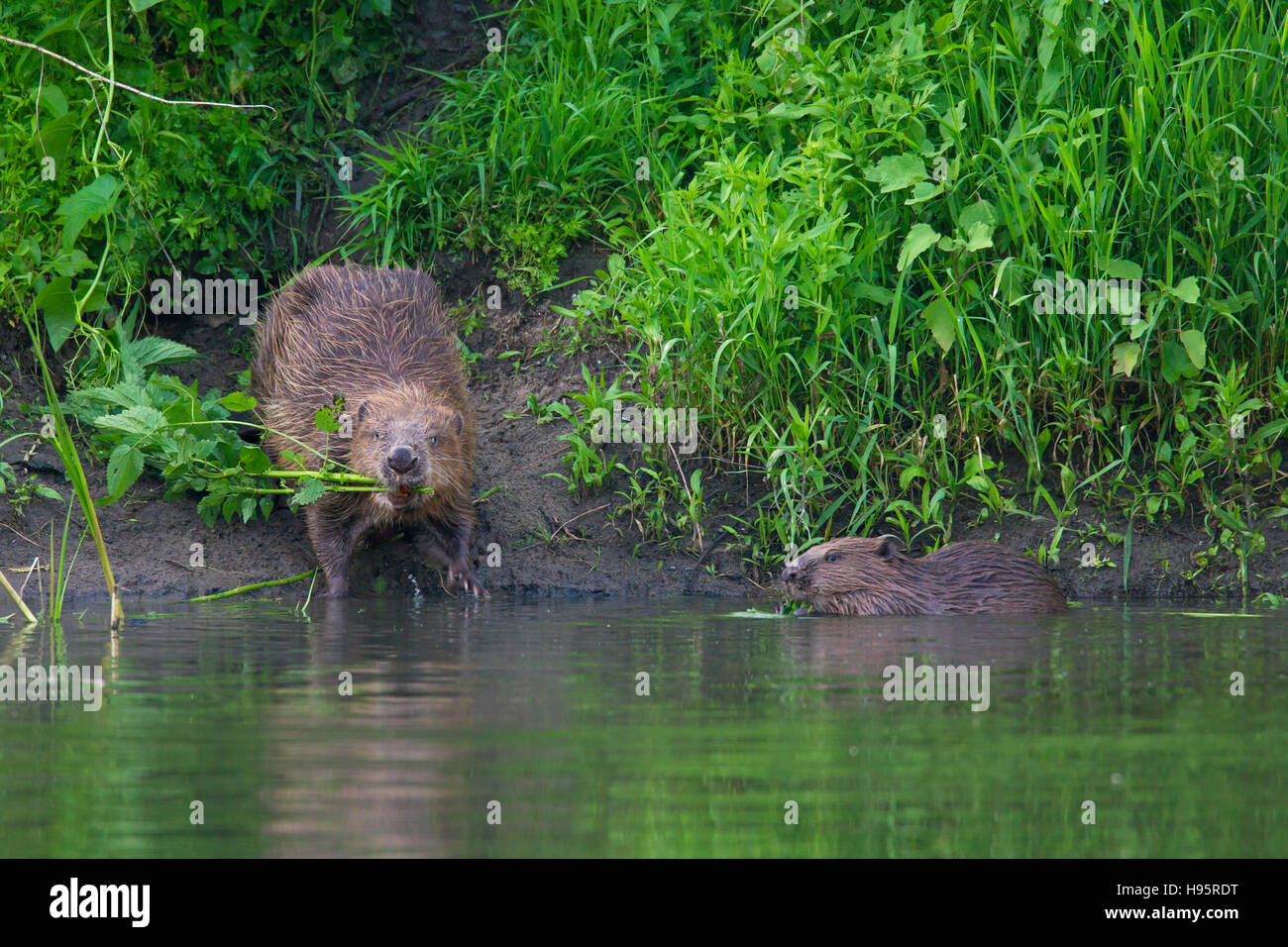 Eurasian beaver / European beaver (Castor fiber) with young on lake shore collecting vegetation for food cache - Stock Image