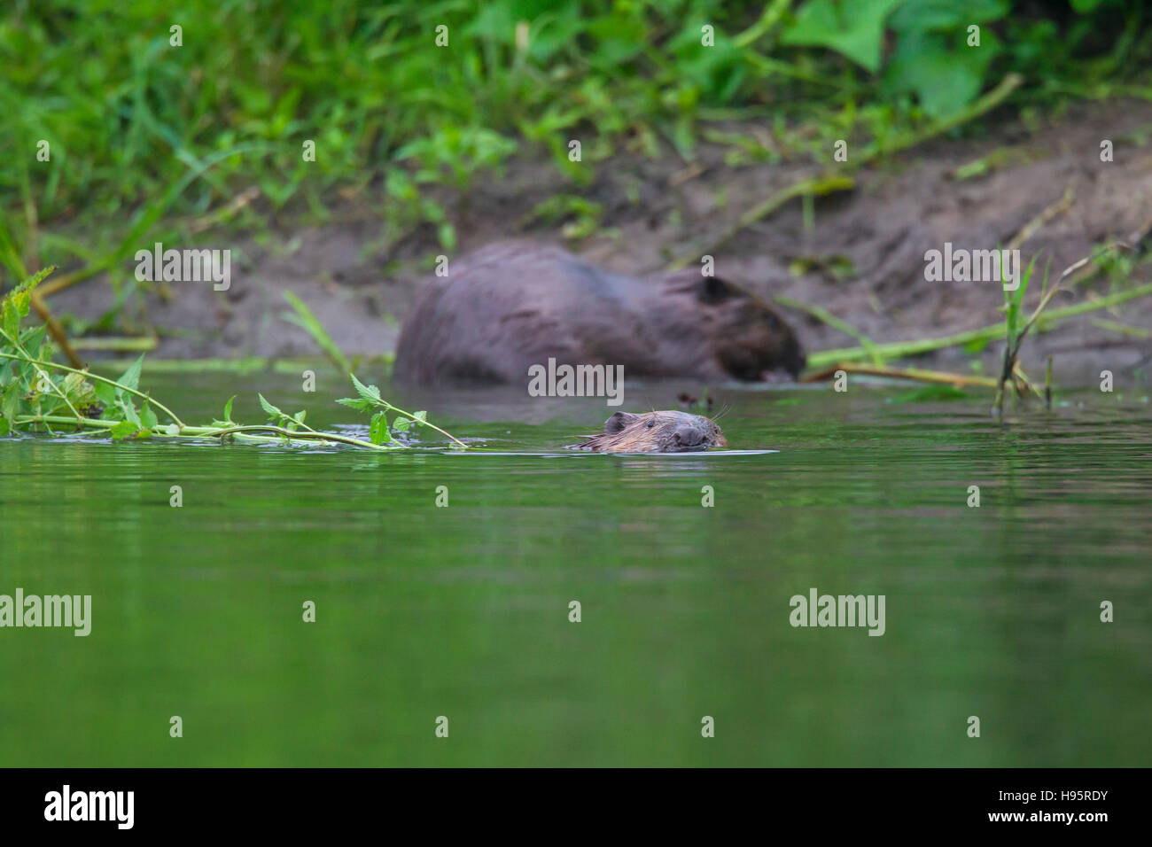 Eurasian beavers / European beaver (Castor fiber) collecting vegetation for food cache in pond - Stock Image