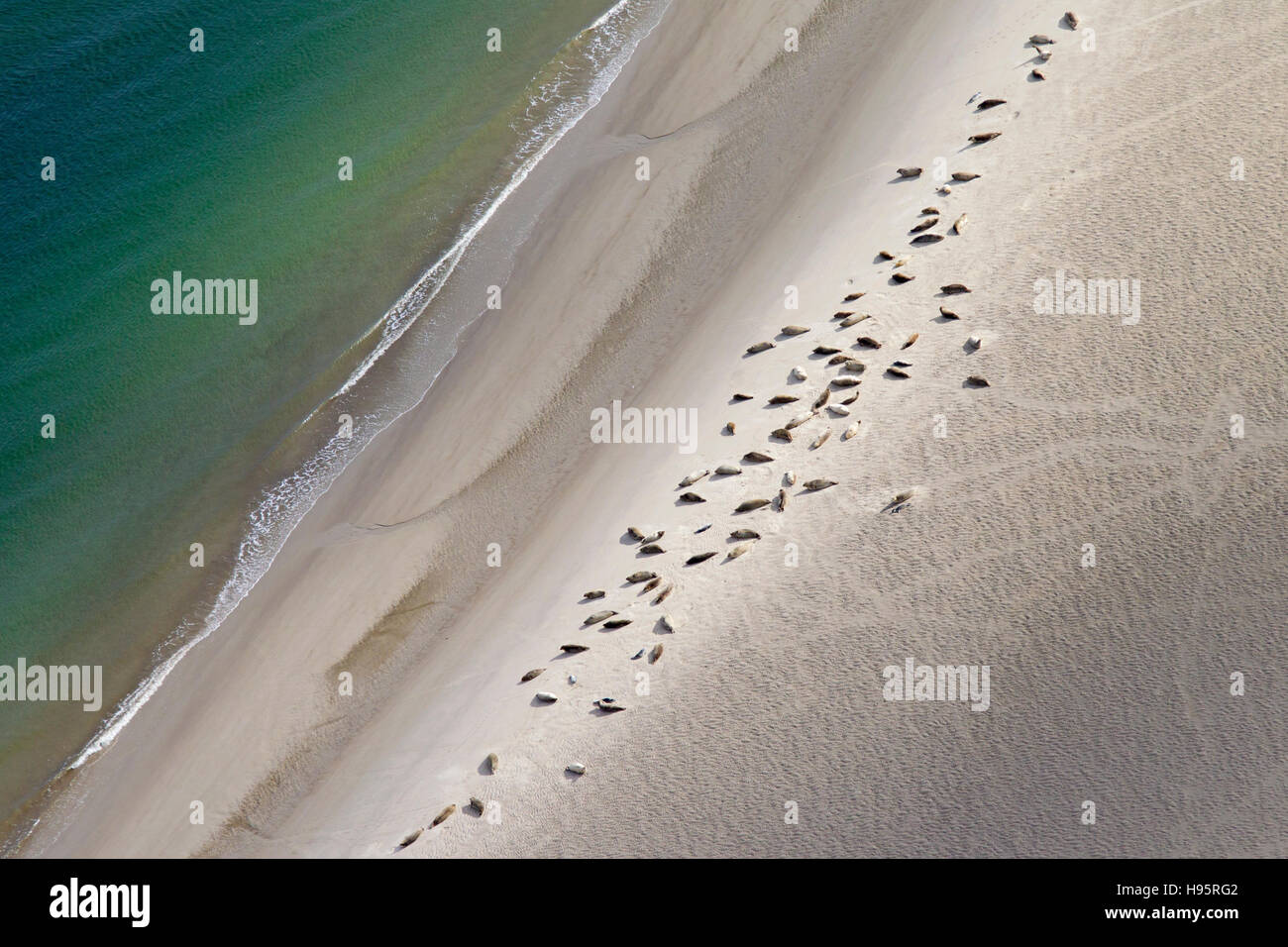 Bird's eye view of common seals / harbour seals (Phoca vitulina) in seal colony resting on sandbank along the - Stock Image