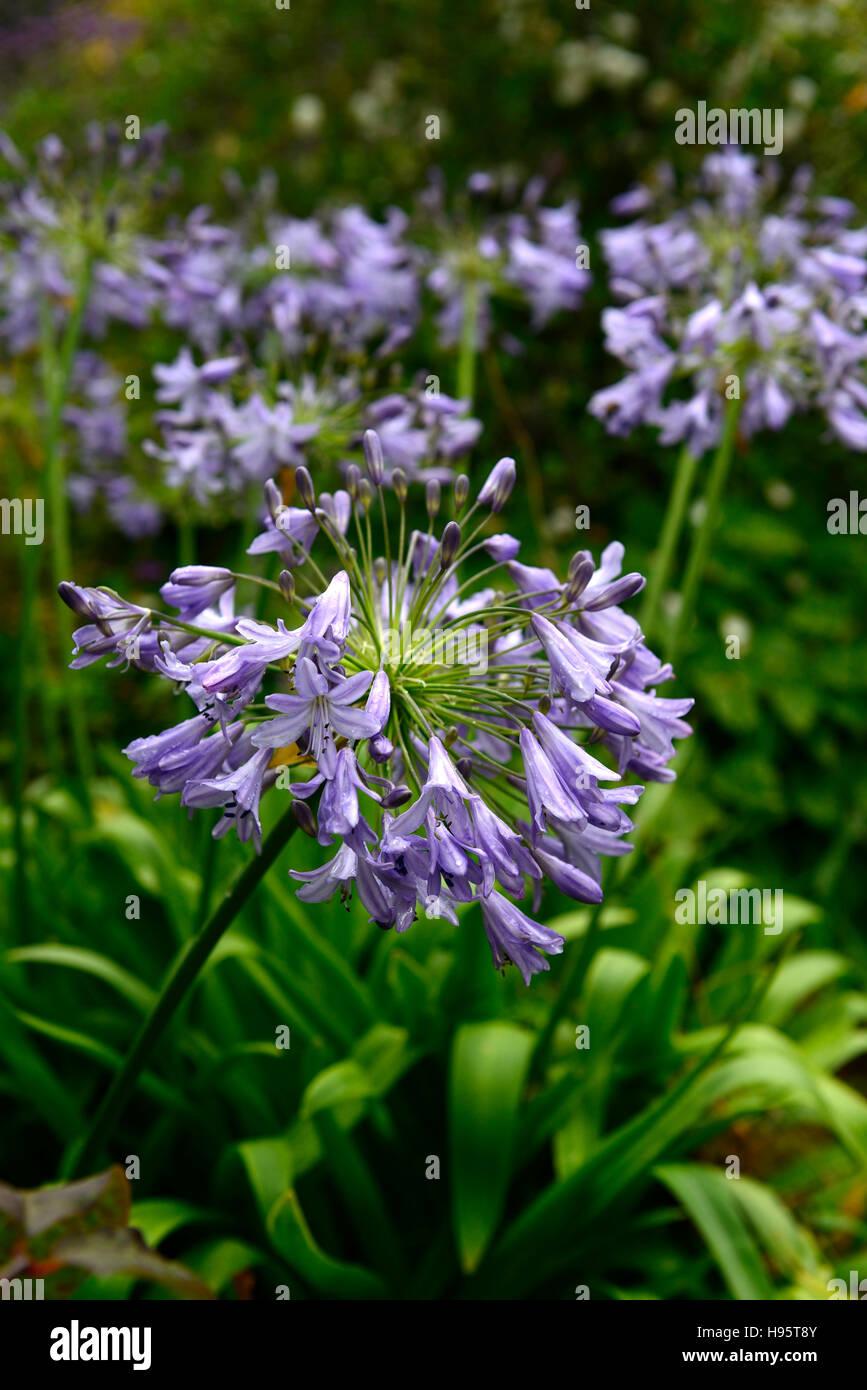 Agapanthus Summer Skies Hardy Nile Lilies Blue Flowers Flower