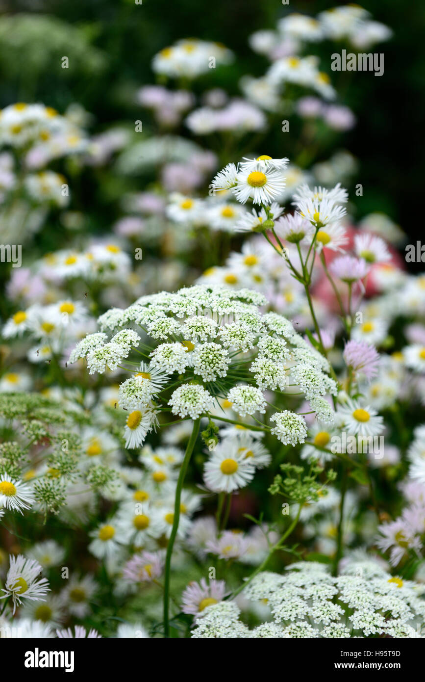 ammi majus daisy daisies flowers flower flowering white mix mixed combination wild natural wildlife garden RM Floral Stock Photo