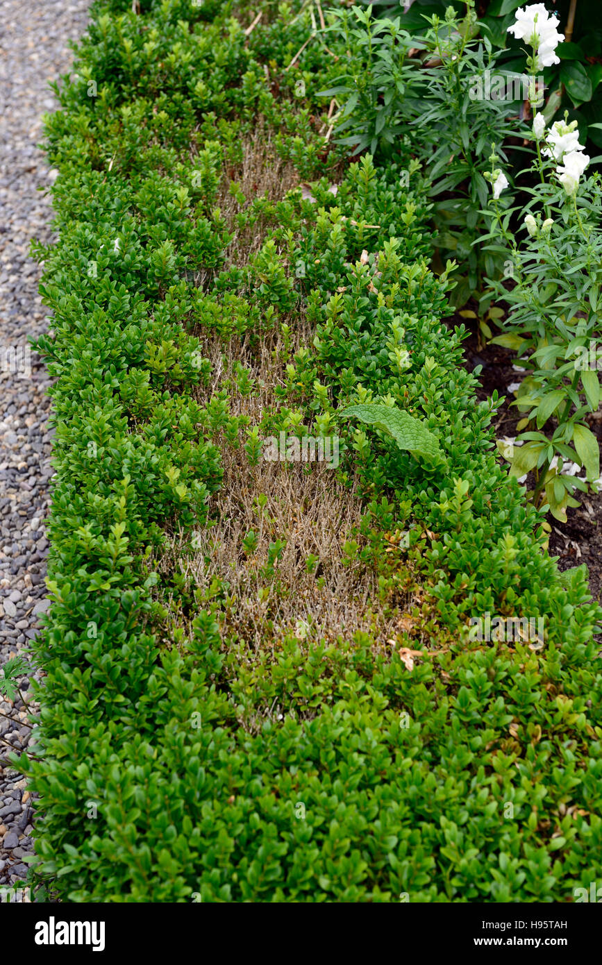 box blight buxus box hedge damage damaged evergreens shrubs hedges hedging gardening diseases disfigured problem - Stock Image