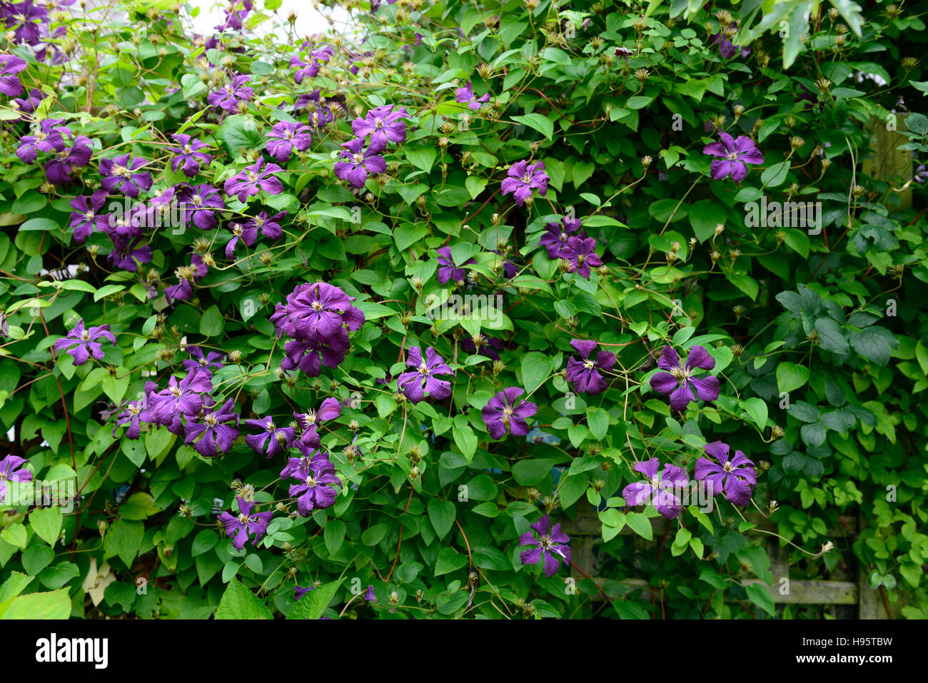 Clematis Viticella Etoile Violette Purple Flowers Flower Flowering