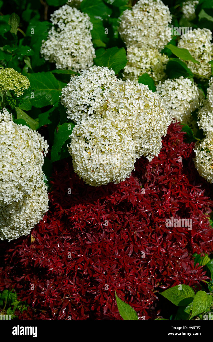 Hydrangea Anabelle White Flowers Flower Flowering Panicle Panicles