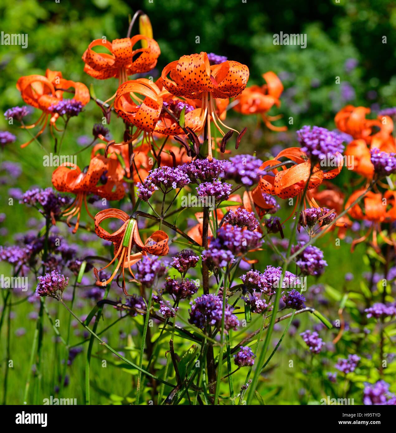 verbena flowers orange stock photos verbena flowers orange stock images alamy. Black Bedroom Furniture Sets. Home Design Ideas