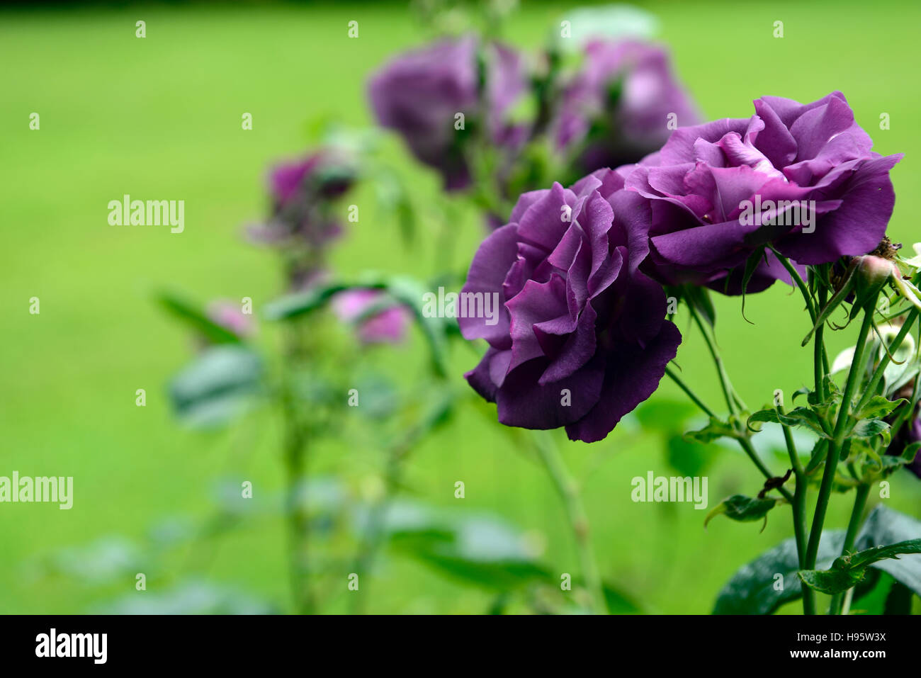 Rosa Rhapsody In Blue Frantasia Rose Purple Flower Flowers Bloom