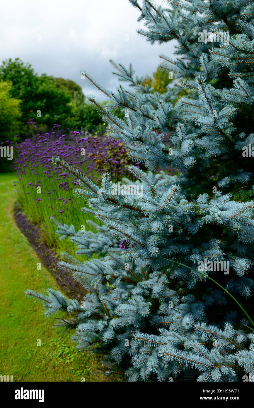 Picea pungens Colorado blue spruce verbena bonariensis purple flower flowers flowering RM Floral - Stock Image