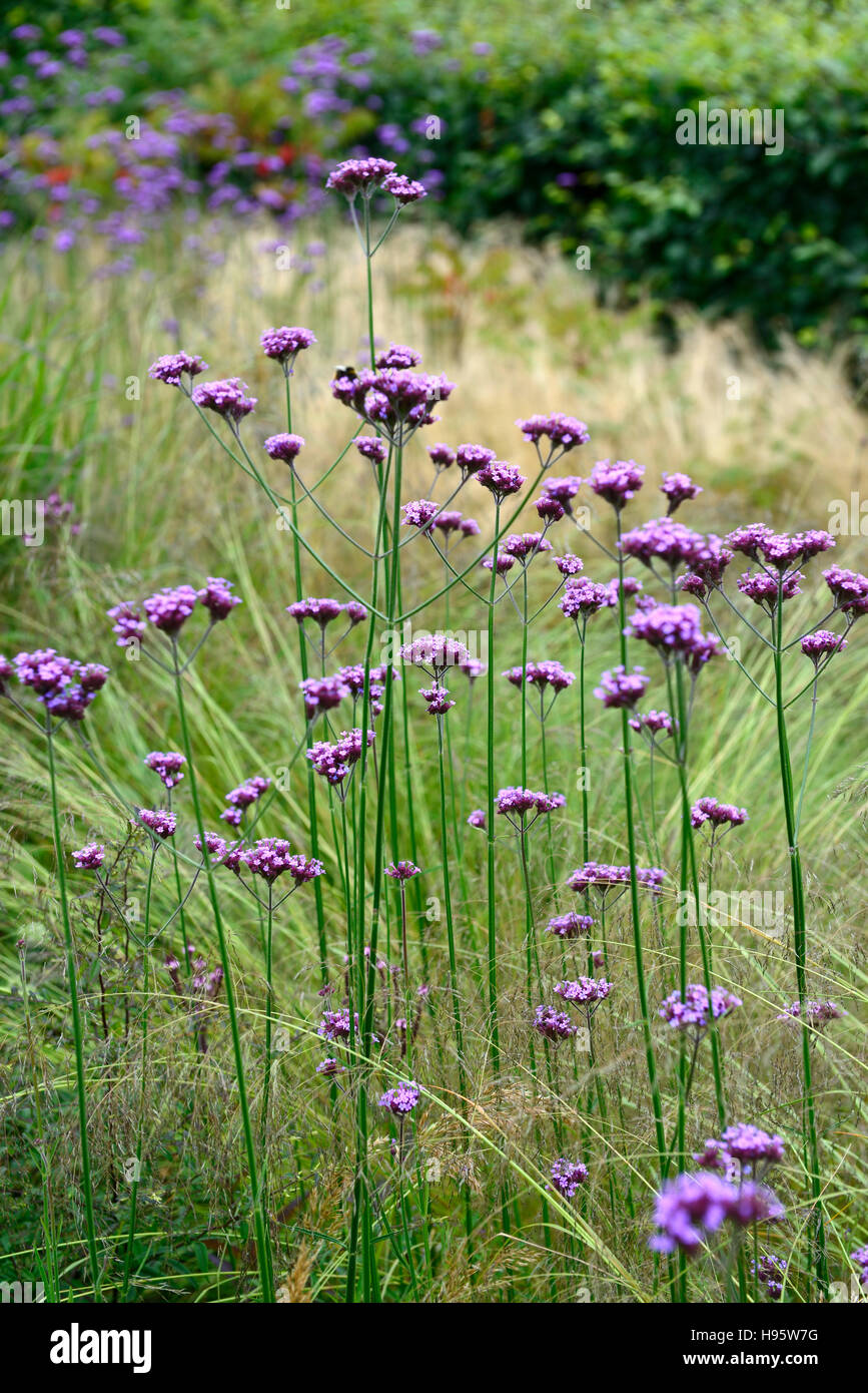 Verbena bonariensis stipa tenuissima tall perennial purple flower verbena bonariensis stipa tenuissima tall perennial purple flower flowers grass grasses mixed planting prairie style rm floral mightylinksfo