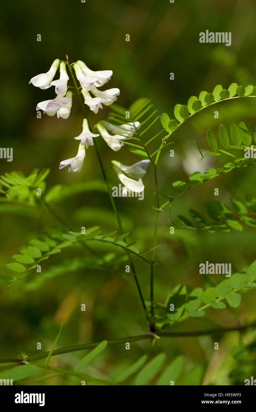 vetch inflorescence (Vicia sylvatica) on blurred background - Stock Image