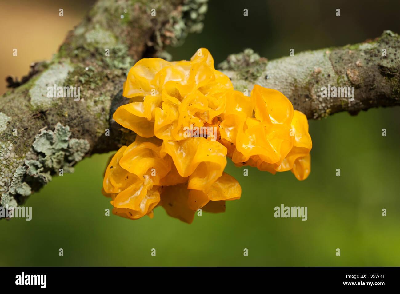 fungi with yellow gelatinous sporophores on branch - Stock Image