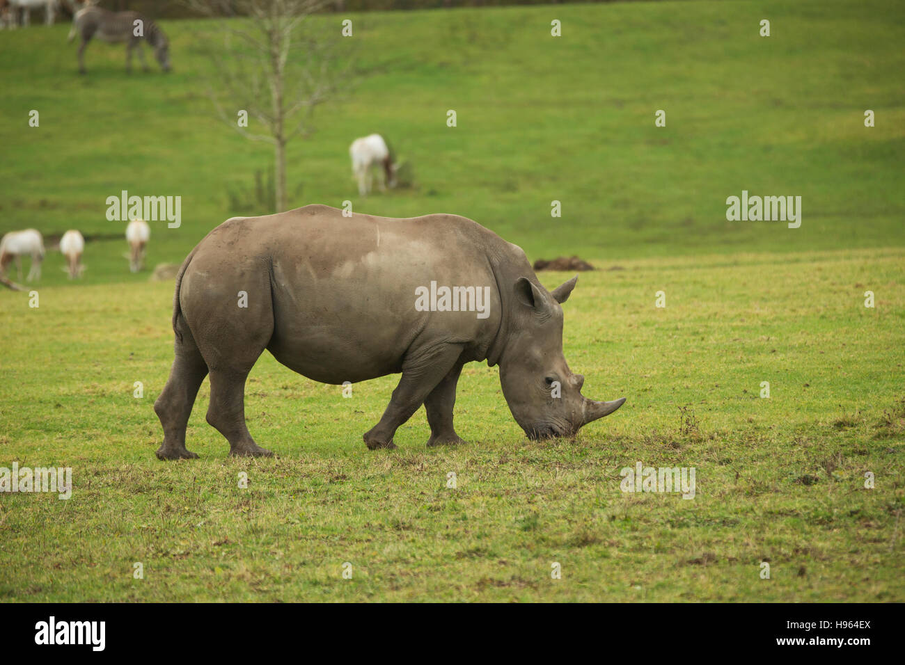 Rhinoceros grazing in a paddock at Marwell zoo in Hampshire England. - Stock Image