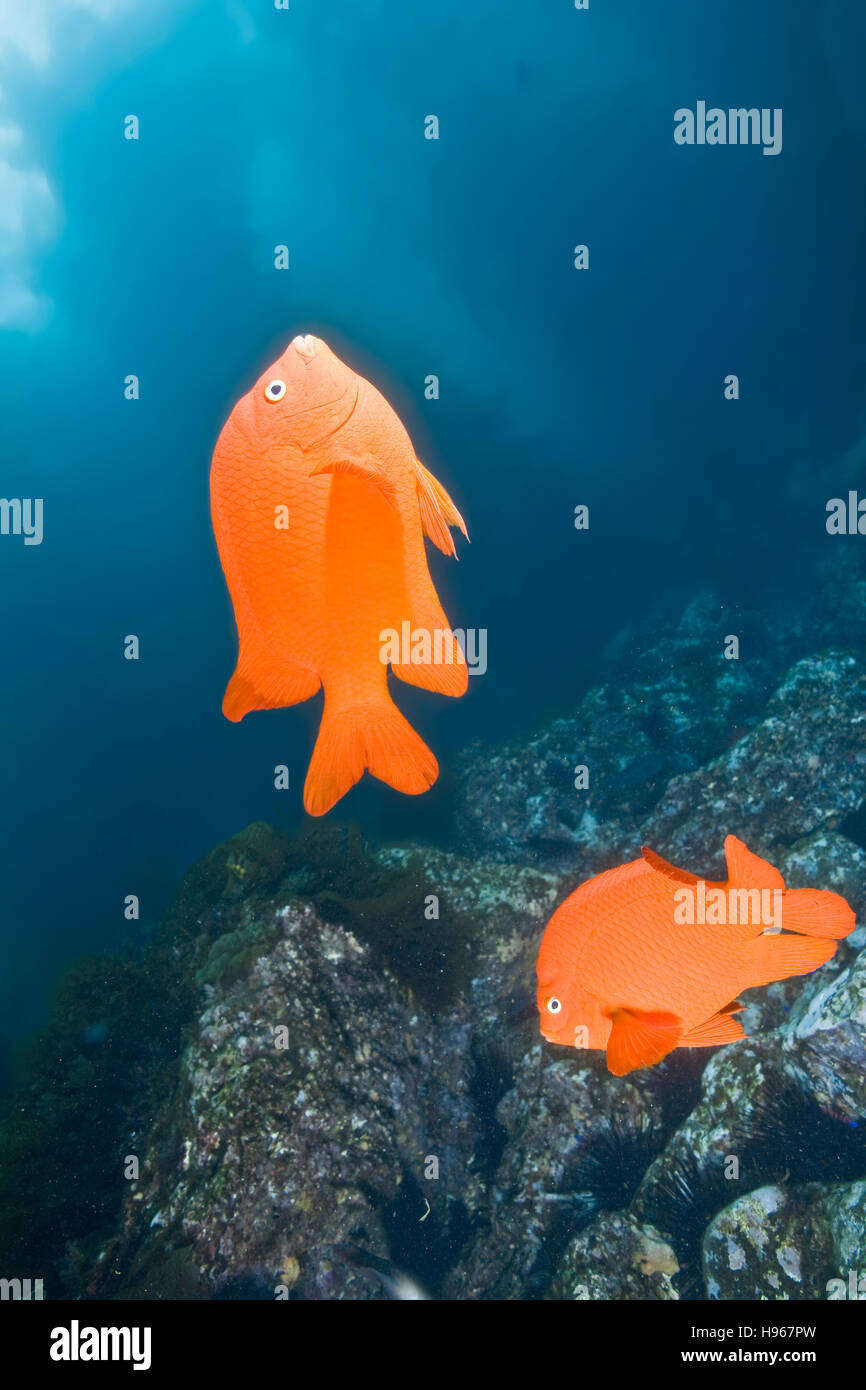 Handheld.  Garibaldi or Hypsypops rubicundus.  Photographed underwater at Catalina Island of the Channel Islands, Stock Photo