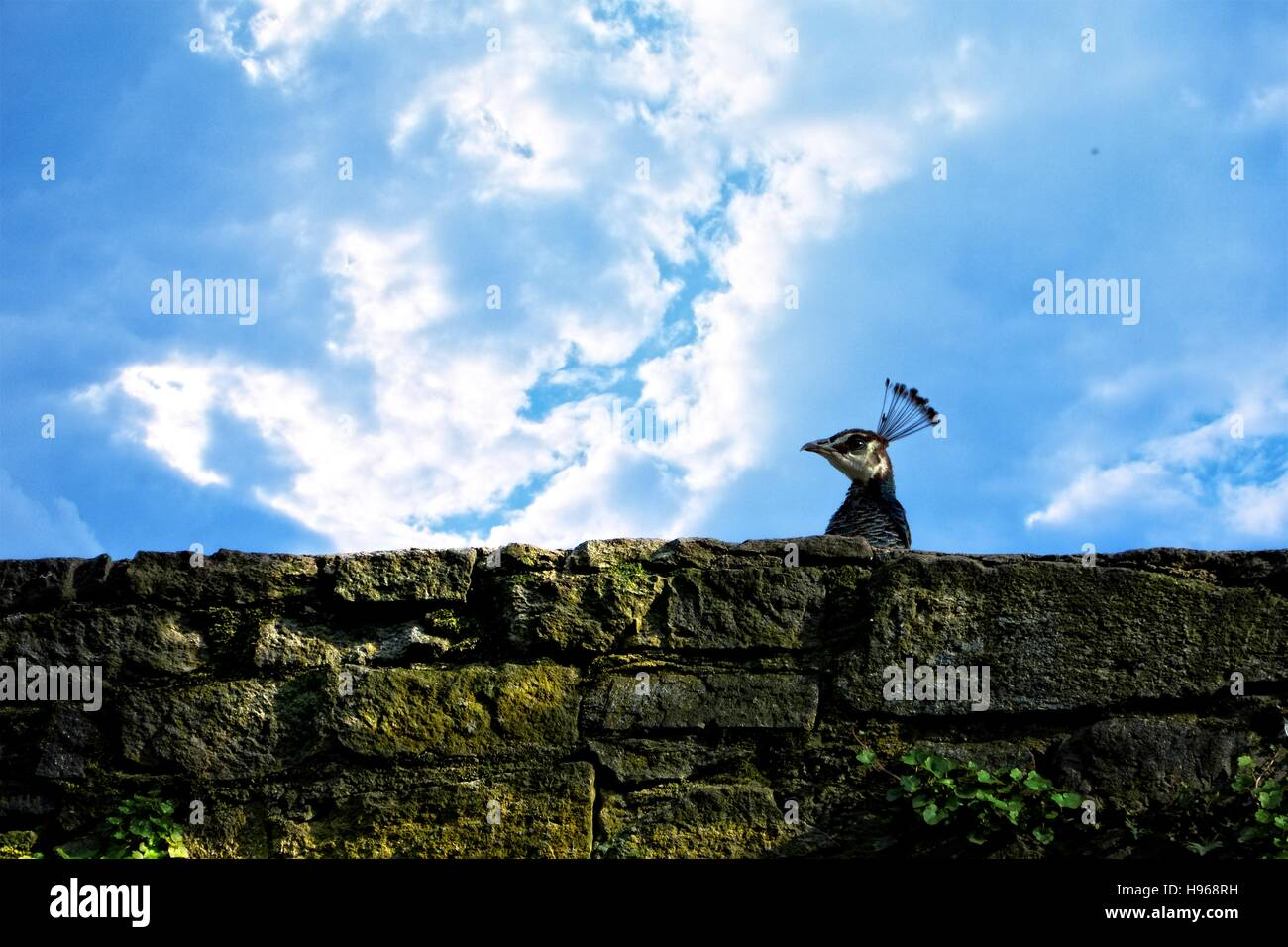Head of a peacock looks above old stone wall, with blue sky - Stock Image