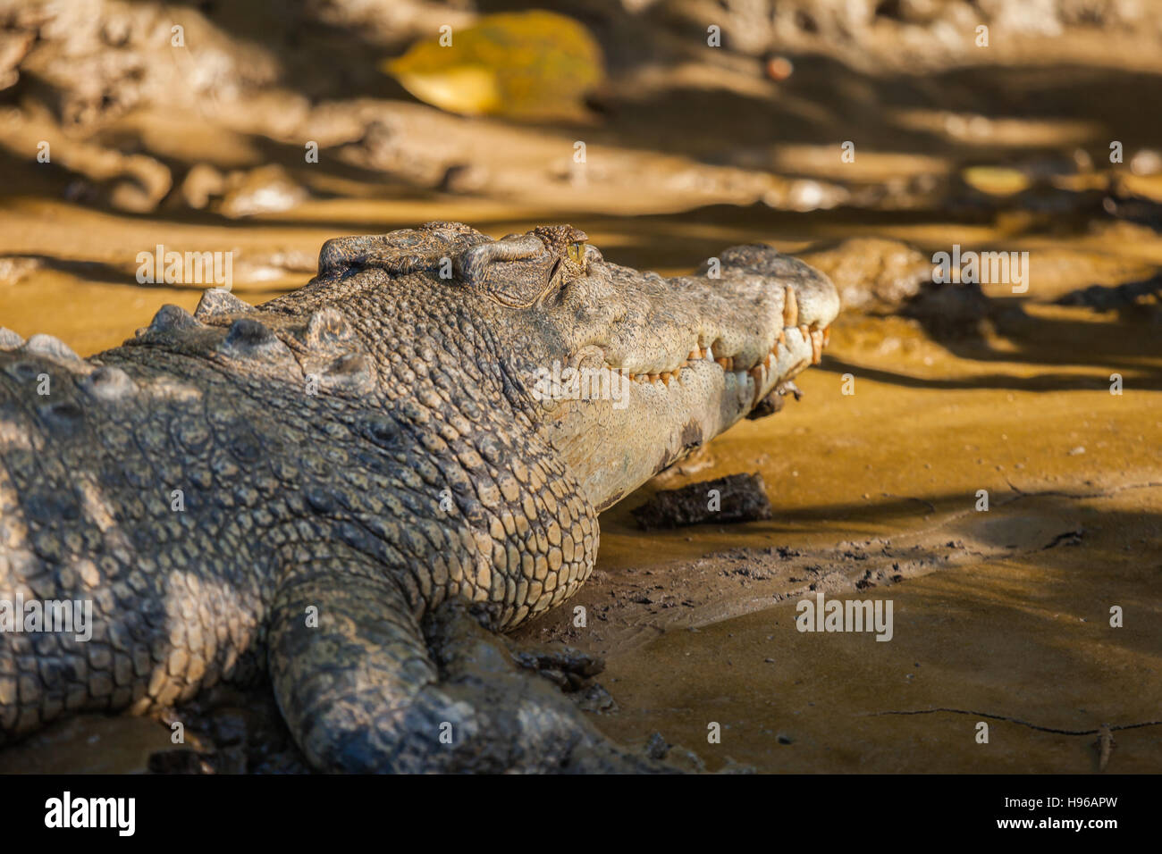 saltwater crocodile  is the largest of all living reptiles, as well as the largest terrestrial and riparian predator - Stock Image