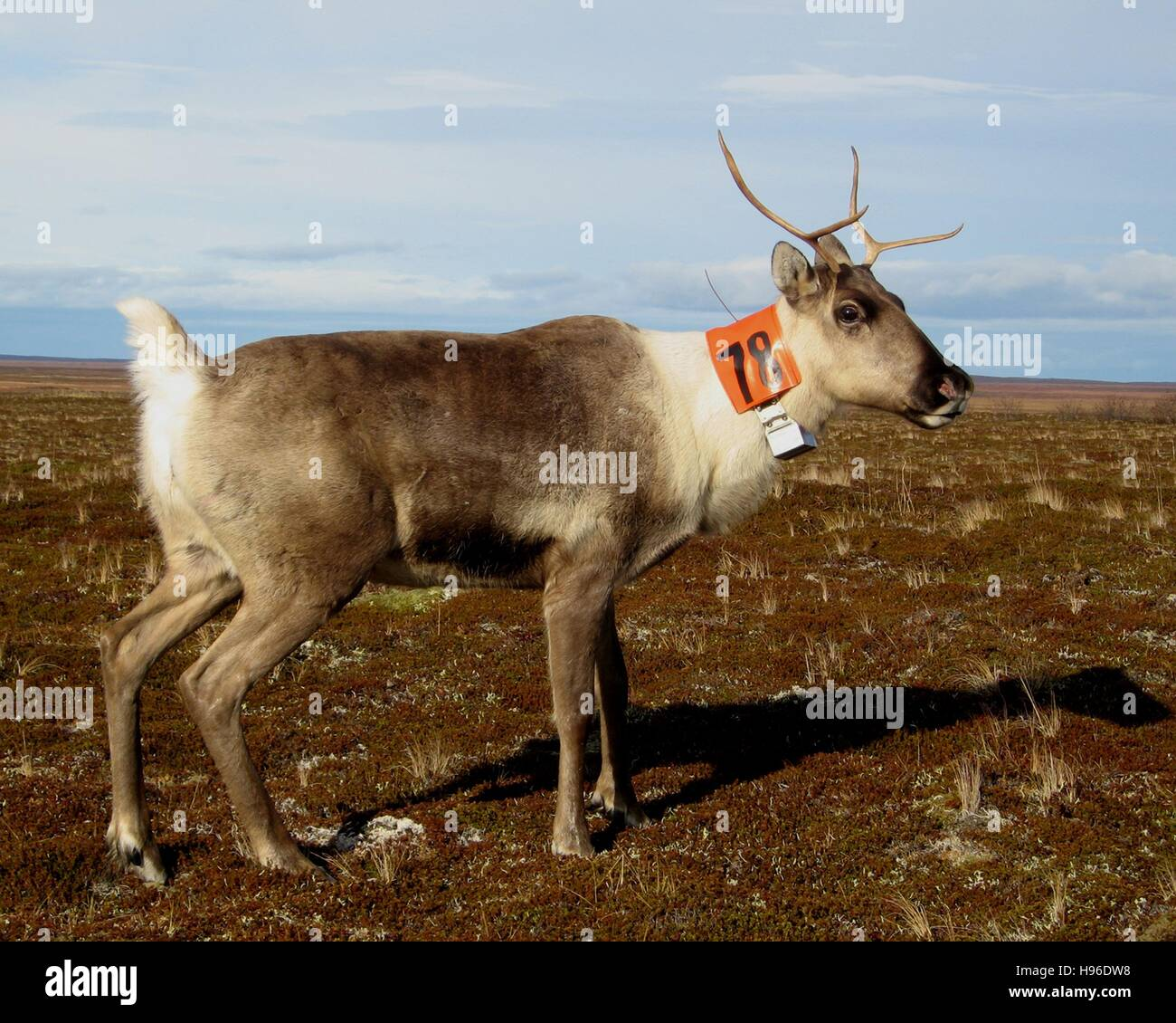 A tagged, collared caribou grazes on in the plains at the Becharof National Wildlife Refuge October 26, 2007 in Stock Photo