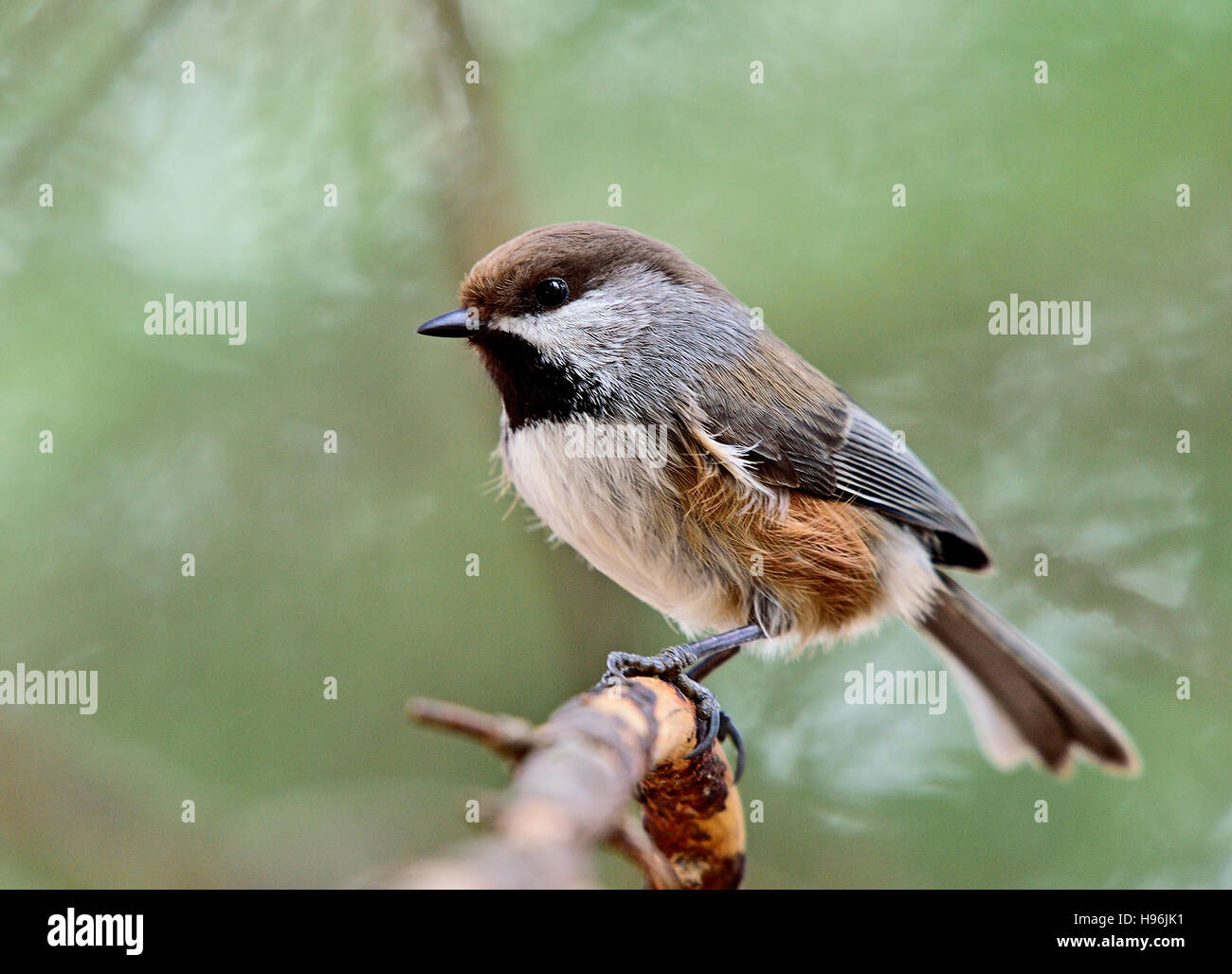 A wild Boreal Chickadee, Parus hudsonicus, - Stock Image