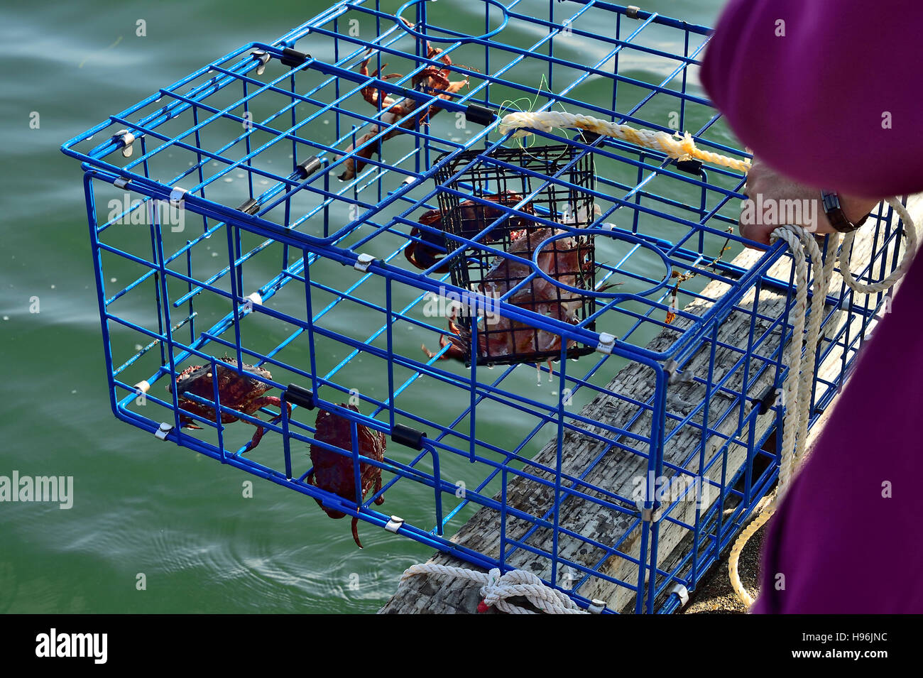 A close up of a metal crab trap with some red rock crabs inside - Stock Image