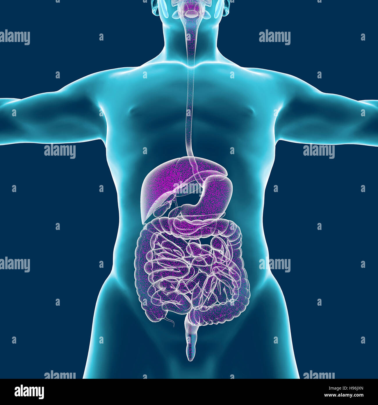 Human Body Muscular System Person Digestive System Anatomy 3d