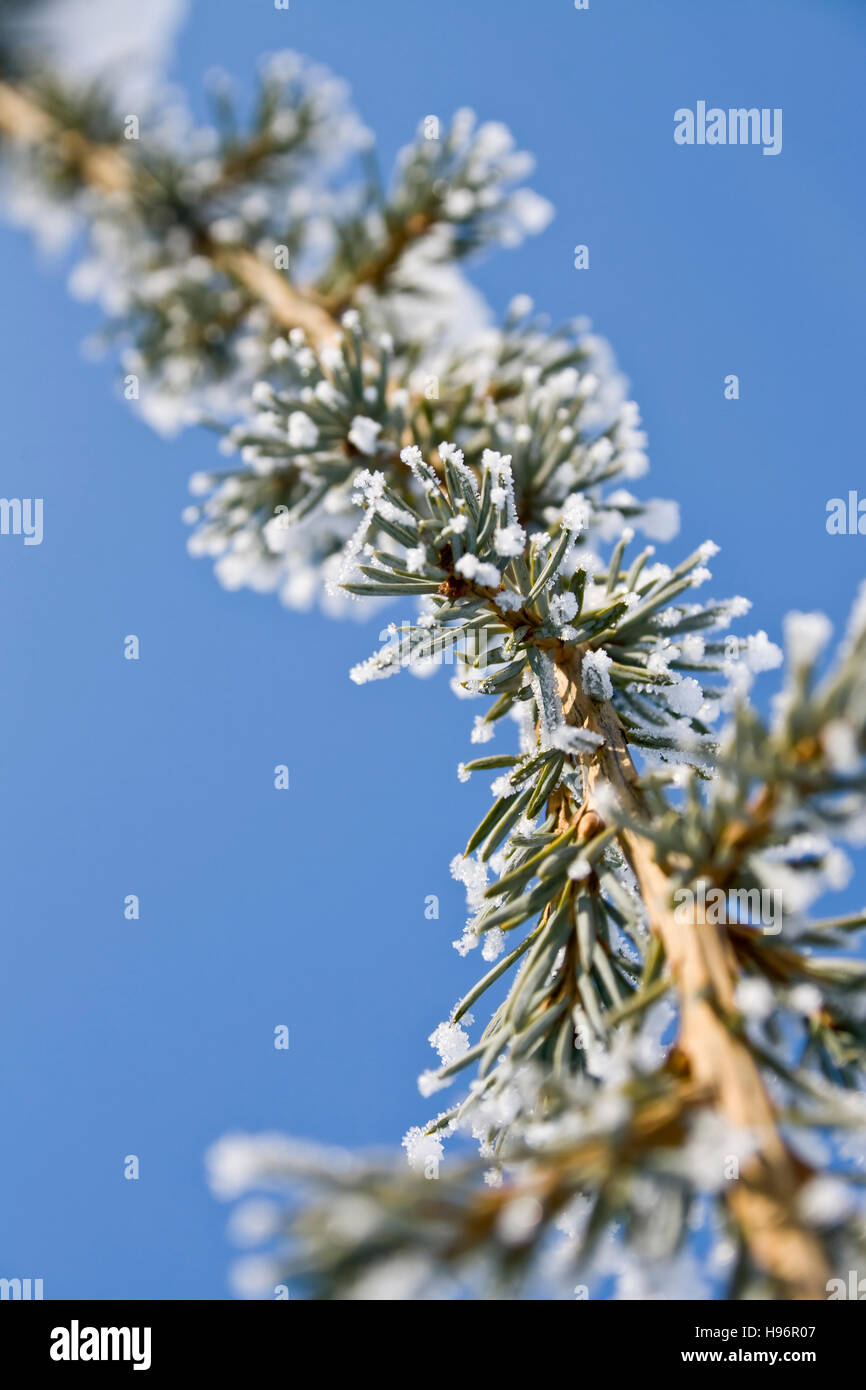 Frosted pine tree branch - Stock Image