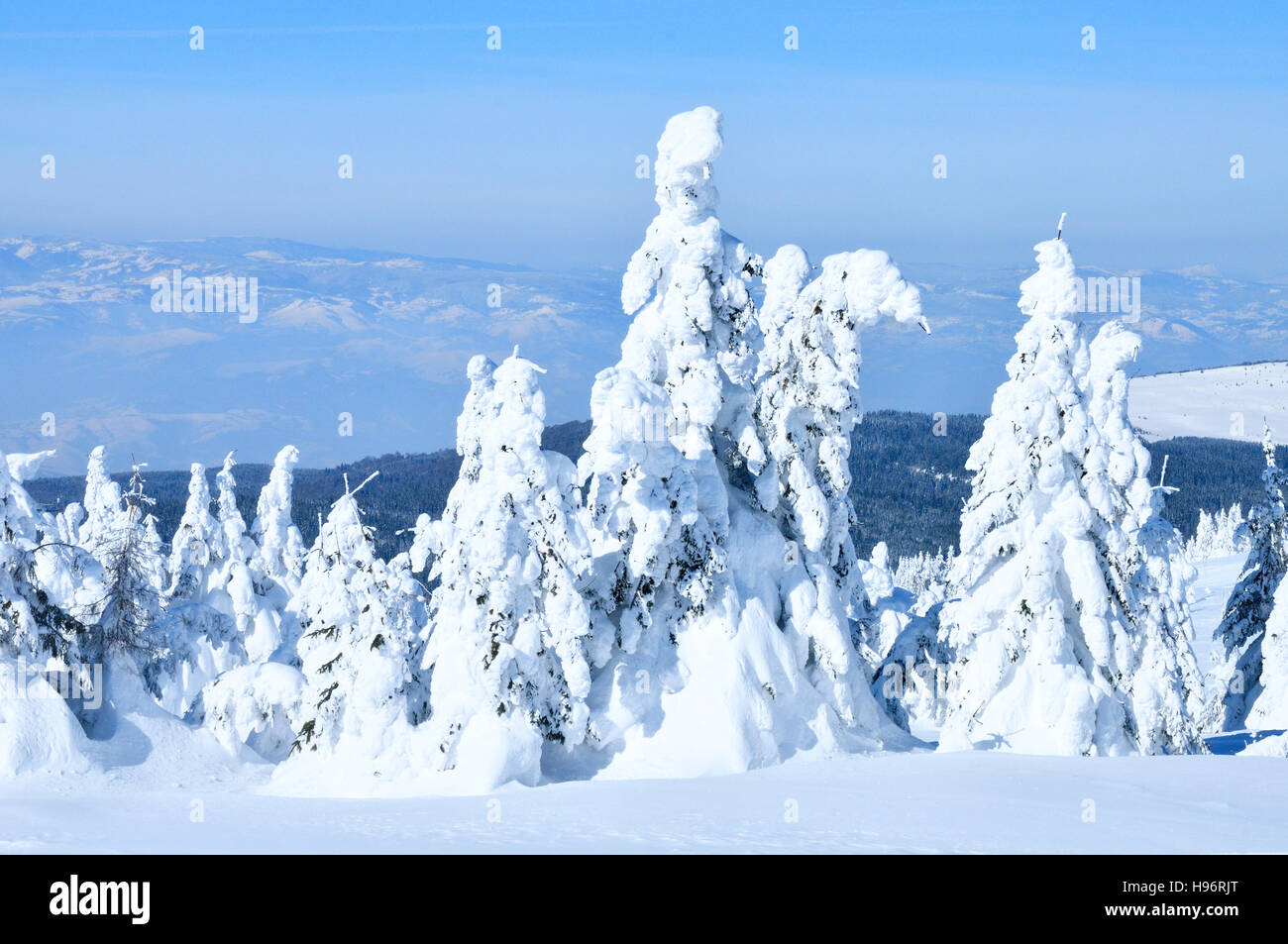 Snow covered spruce at top of mountain. Kopaonik. Serbia. - Stock Image