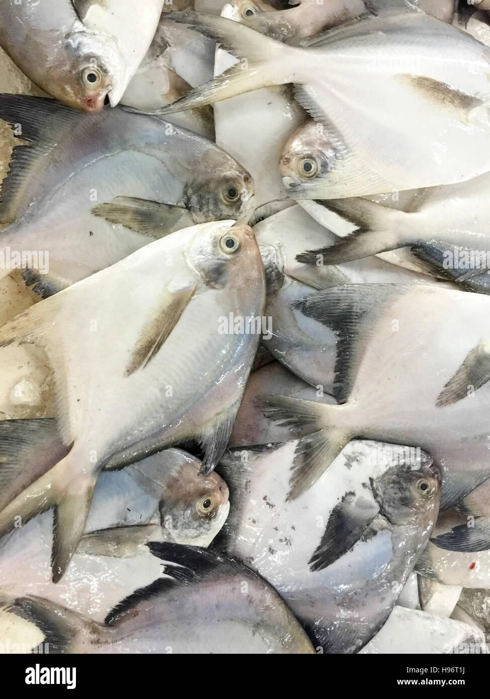 Close up of fresh fish  pomfret or local called Bawal Fish on display at fish market. - Stock Image
